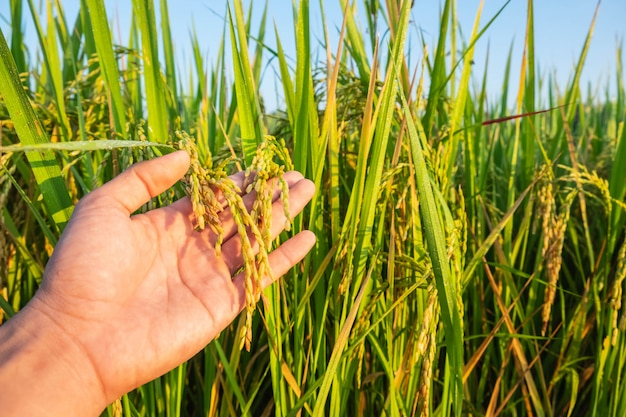 The  rice field in the hands of farmers Premium Photo