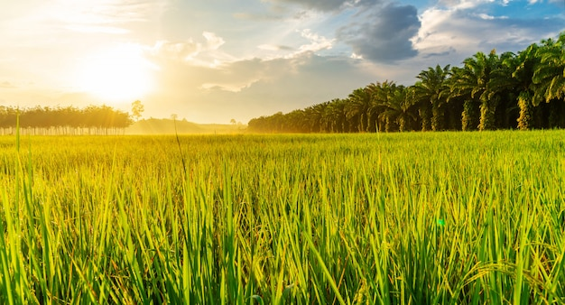 Rice field panorama with sunrise or sunset in moning light Premium Photo
