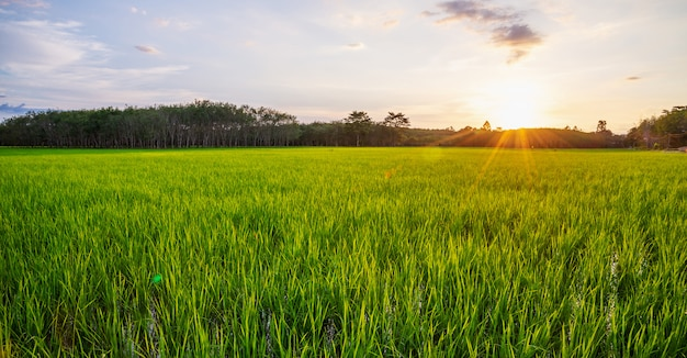 Rice field panorama with sunrise or sunset and sunbeam flare Premium Photo