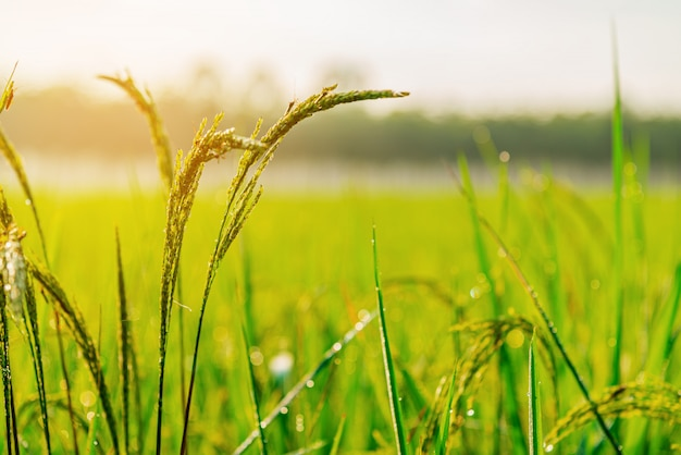 Rice field plant sunrise or sunset in moning light Premium Photo