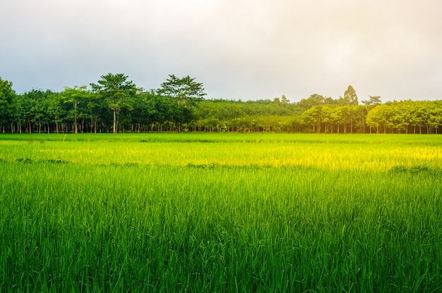 Rice field rural with sky in sunlight Premium Photo