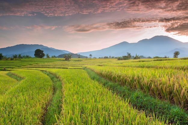 Rice field at sunset Premium Photo
