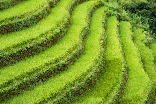 Rice field terraced curve on mountain Premium Photo