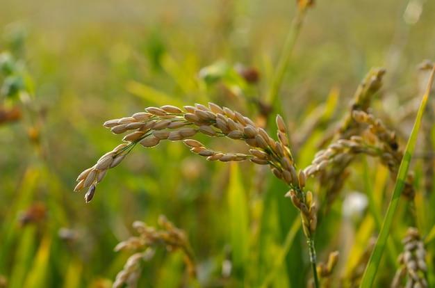 Рисовое поле под солнечным светом Бесплатные Фотографии