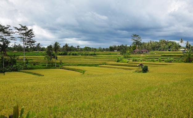 Rice field with beautiful sky. bali, indonesia. Premium Photo