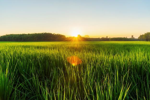 Rice field with sunrise or sunset in moning light Premium Photo