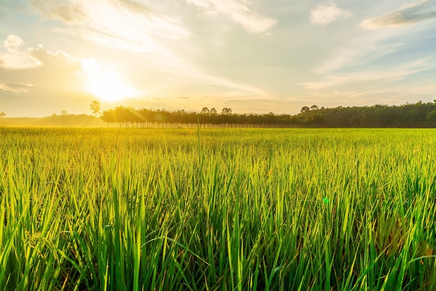 Rice field with sunrise or sunset in moning light Premium Photo