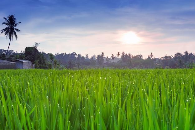Rice field Premium Photo