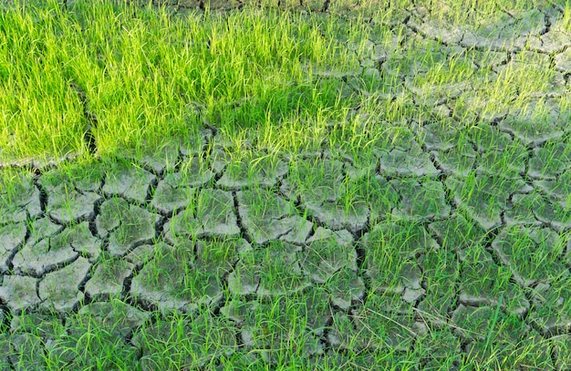 Rice fields grown on cracked soil without water. Premium Photo