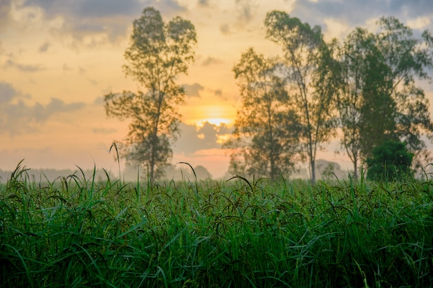 Rice fields in the morning time Premium Photo