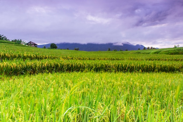 Rice fields in the morning with beautiful and cool colors Premium Photo