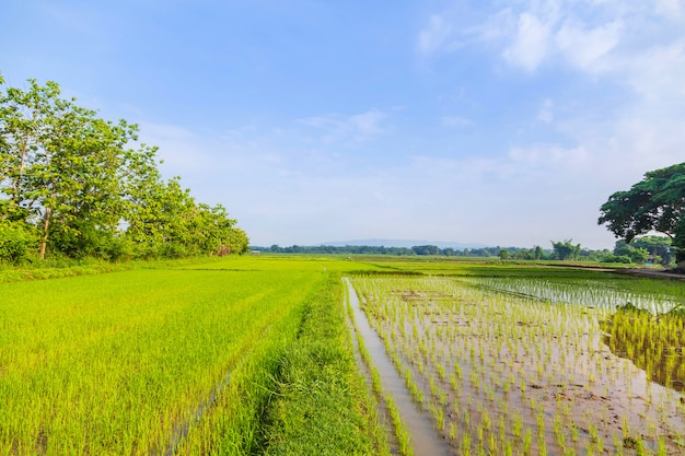Rice fields and newly planted seedlings Premium Photo