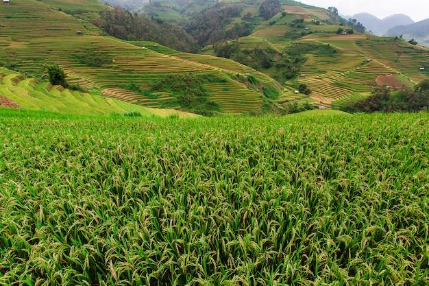 Rice fields on terrace in rainy season at mu cang chai, yen bai Premium Photo