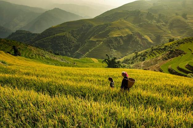 Rice fields on terraced in muchangchai, rice fields prepare the harvest at northwest vietnam. Premium Photo