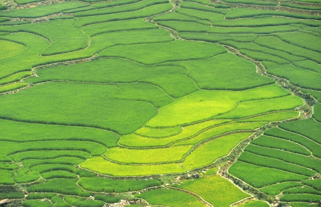 Rice fields Premium Photo