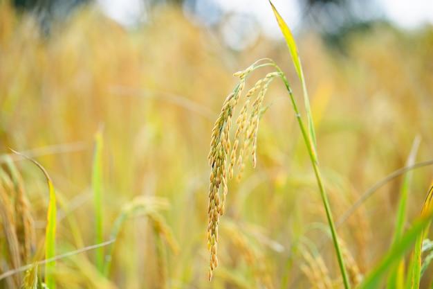 Rice grains in rice fields Premium Photo