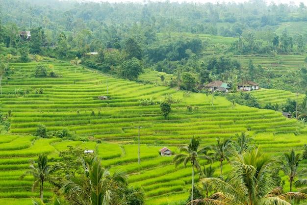 Rice paddies Free Photo