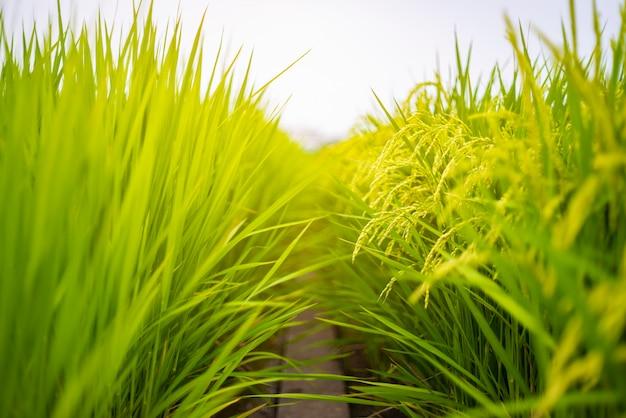 Rice plant agriculture field Premium Photo