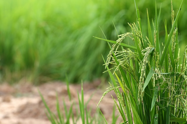 Rice seed on green cornfield and soil background in thailand Premium Photo