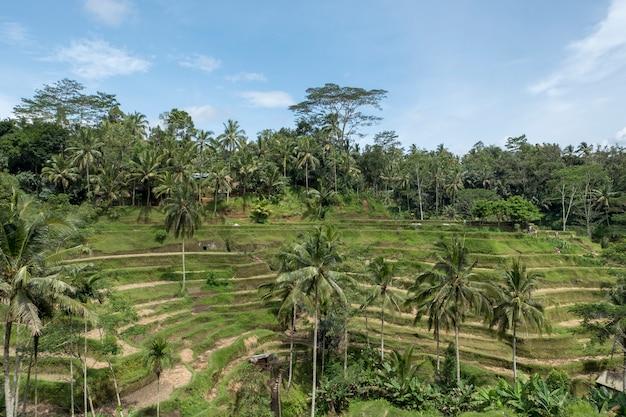 Rice terrace in bali Free Photo