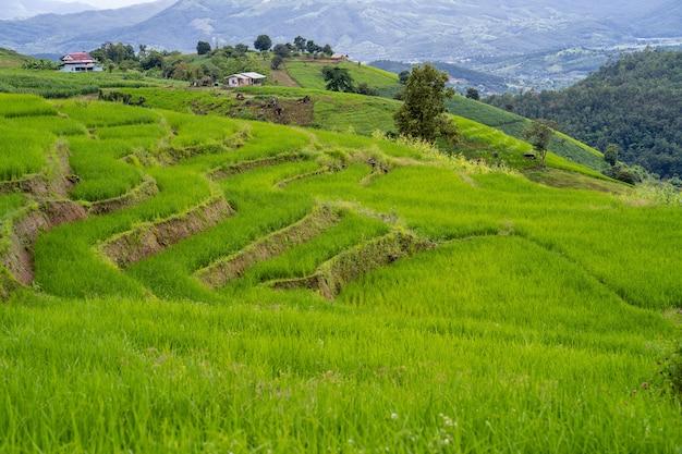 Поле рисовой террасы на холме Premium Фотографии
