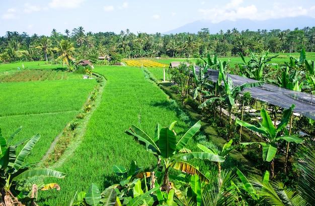 棚田。バリの伝統的な田んぼ。緑の水田 Premium写真