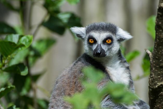 Lemure dalla coda ad anelli che osserva attentamente Foto Gratuite