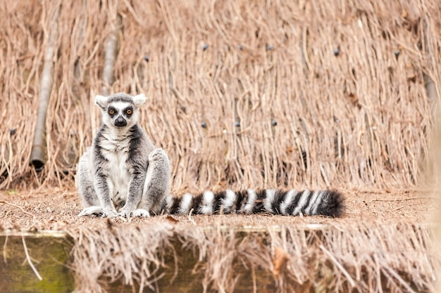 Ring-tailed lemur Premium Photo