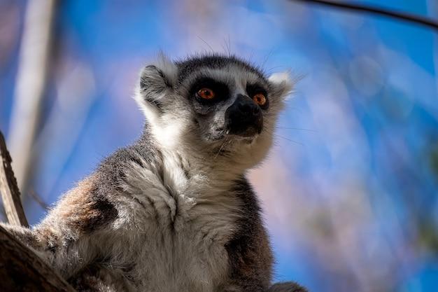 背景をぼかした写真に驚いた顔をしたキツネザル 無料写真