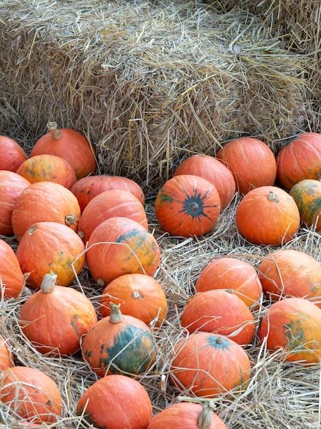 Rip pumkin pile on the haystack. Premium Photo