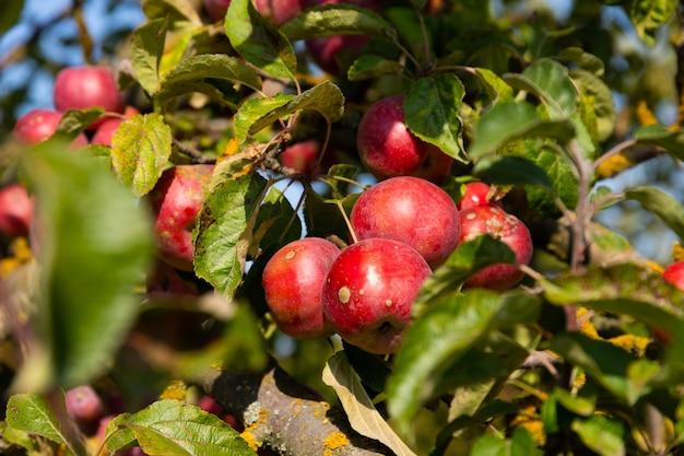 熟したジューシーな赤いリンゴが木から吊るされています。セレクティブフォーカス Premium写真