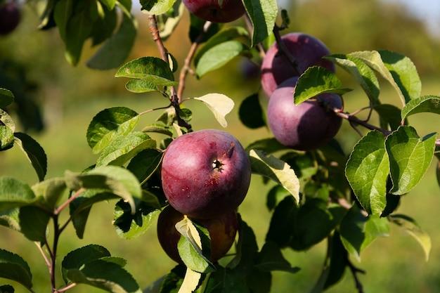 熟したジューシーな赤いリンゴが木から吊るされています。 Premium写真