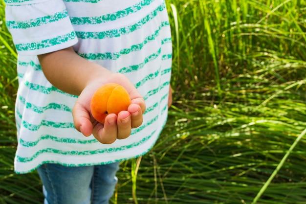 Ripe apricot in the hands of a child Premium Photo