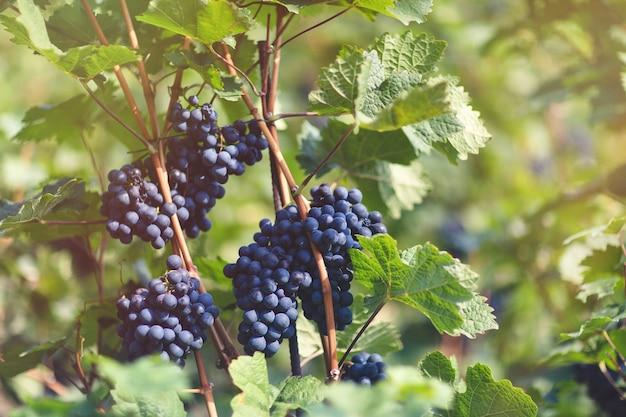 ブドウ園の熟した青ブドウ秋の晴れた日の収穫時期 Premium写真