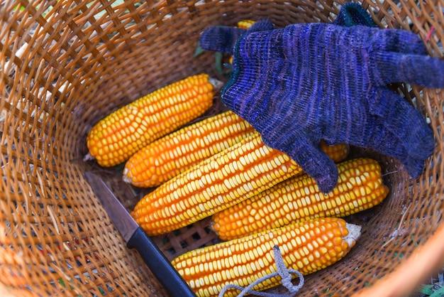 Урожай спелой кукурузы с поля в корзине, сбор урожая кукурузы азиатских сельскохозяйственных продуктов Premium Фотографии