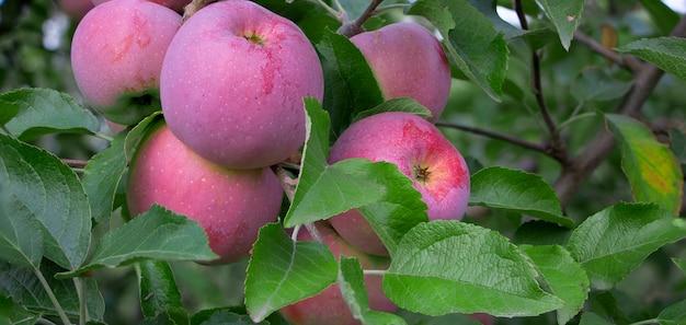 熟したフロリーナリンゴが木にぶら下がっています。 Premium写真