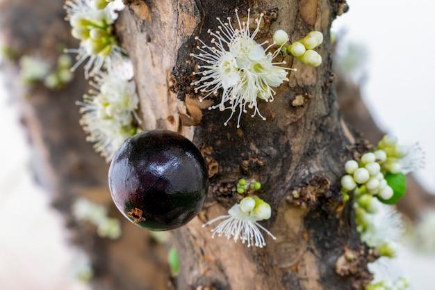 잘 익은 Jaboticaba와 나무에 꽃 프리미엄 사진