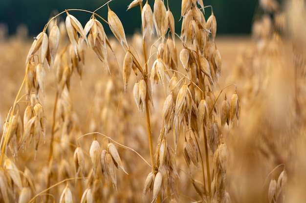 Ripe oats in the field against the sky Premium Photo