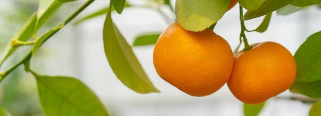Ripe orange tangerines on a branch. Premium Photo