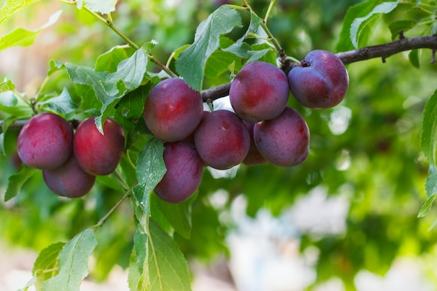 Ripe plums on a branch Premium Photo