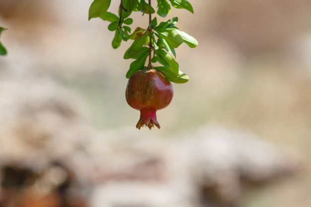 Ripe pomegranate on a branch. Premium Photo