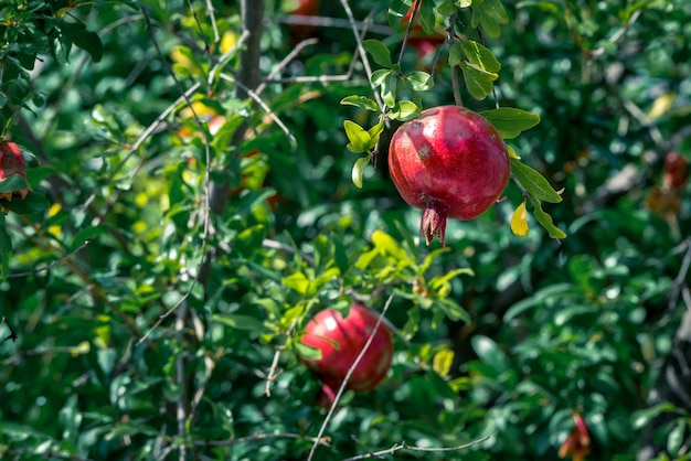 Ripe pomegranate fruit on tree branch, selective focus. Premium Photo