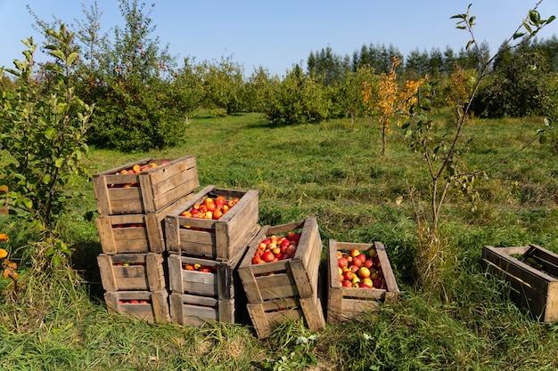 果物狩りの日に大きな木箱に熟した赤いリンゴ。 Premium写真