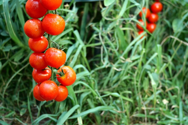 Ripe red tomatoes hanging on the green foliage, hanging on tomato bush in the garden. Premium Photo