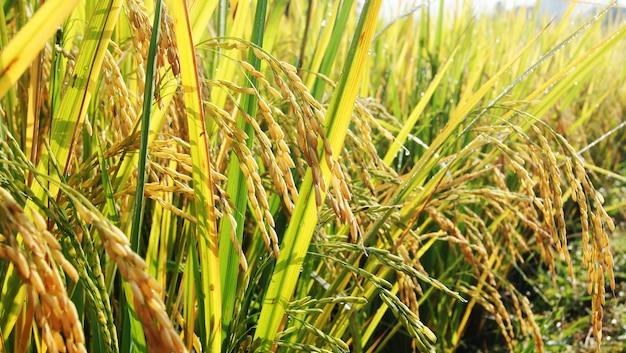 Ripe rice in a paddy field thai rice field Premium Photo