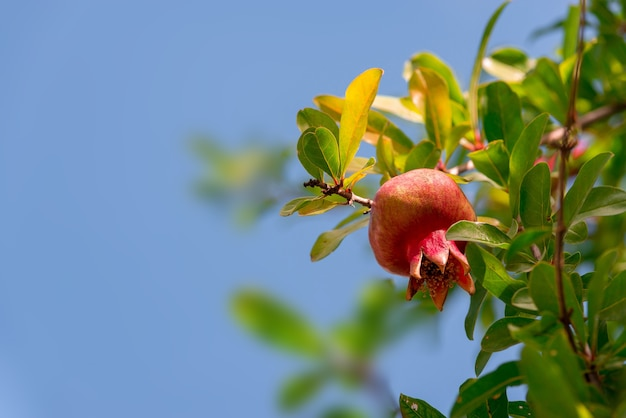Ripe and small pomegranate fruit on tree branch Premium Photo