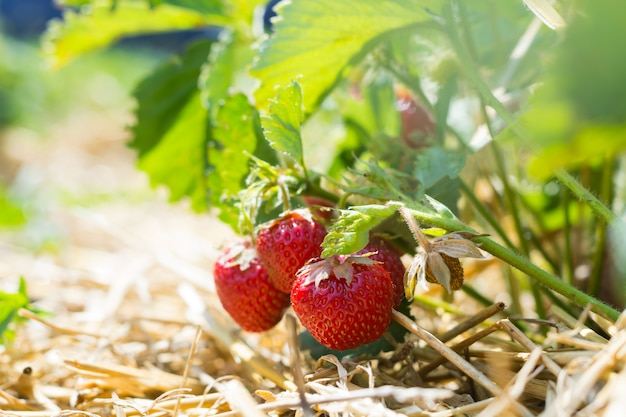Ripe strawberries on a plantation, the rows between which are covered with straw. Premium Photo