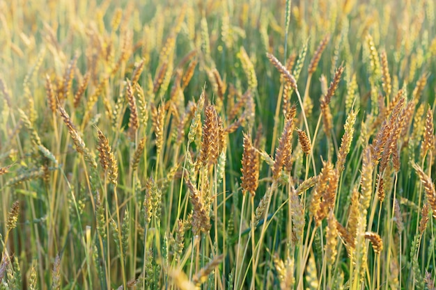 Ripe wheat in an agricultural field. harvest time. spike of wheat close up. natural rural landscape. Premium Photo