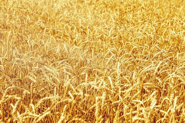 Спелая пшеница в сельскохозяйственном поле Premium Фотографии