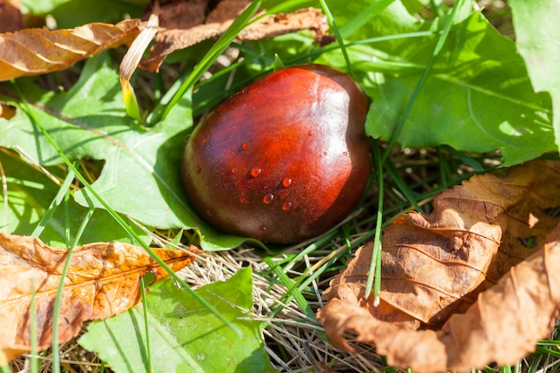 Созревшие и упавшие на землю плоды каштаново-коричневого цвета. осенний сезон. видна зеленая трава и засохшие листья дерева Premium Фотографии